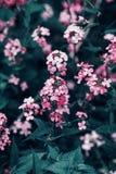 Mooie fee dromerige magische rode roze bloemen met donkergroene bladeren Stock Foto's