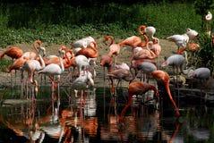 mooie flamingo in een natuurreservaat Royalty-vrije Stock Afbeelding