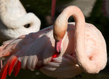 Mooie Flamingo, groene aardachtergrond Royalty-vrije Stock Afbeeldingen