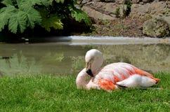 Mooie Flamingo in het park in een zonnige dag Stock Foto's