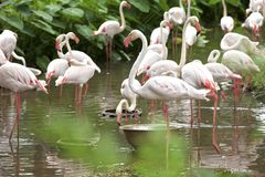 Mooie Flamingo's Royalty-vrije Stock Foto