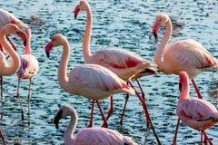 Mooie flamingo's die rond de lagune lopen en voedsel zoeken stock fotografie