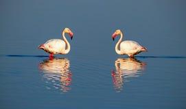 Mooie flamingo's die rond de lagune lopen en voedsel zoeken royalty-vrije stock afbeeldingen