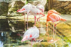 Mooie flamingotribune royalty-vrije stock afbeeldingen