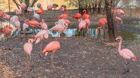 Mooie flamingovogels die zich in watervijver bij stadsdierentuin bevinden stock foto's