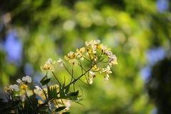 Mooie flowerSennaspectabilis Stock Afbeeldingen