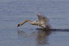Mooie foto met een krachtige swan& x27; s start stock afbeeldingen