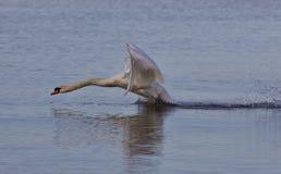 Mooie foto met een krachtige swan& x27; s start royalty-vrije stock afbeeldingen