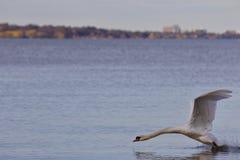 Mooie foto met een krachtige swan& x27; s start van het meer royalty-vrije stock afbeeldingen