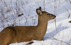 Mooie foto van de herten op de sneeuw die opzij eruit zien Stock Afbeelding