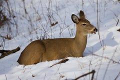 Mooie foto van de herten op de sneeuw die opzij eruit zien Stock Foto's