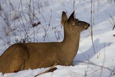 Mooie foto van de herten op de sneeuw die opzij eruit zien Royalty-vrije Stock Fotografie