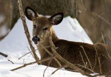 Mooie foto van de leuke wilde herten op de sneeuw Royalty-vrije Stock Foto