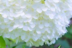 Mooie foto van weelderige bos van kleine witte bloemen Royalty-vrije Stock Afbeeldingen