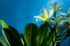 Mooie Frangipani die op Bali bloeien Stock Foto