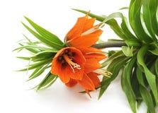 Mooie fritillariabloemen Stock Foto's