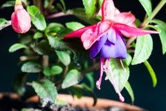 Mooie Fuchsiakleurig Bloem in een Geïsoleerde pot Stock Fotografie