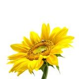Mooie (geïsoleerdee) zonnebloem Stock Afbeeldingen