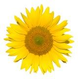 Mooie geïsoleerder zonnebloem Stock Afbeelding