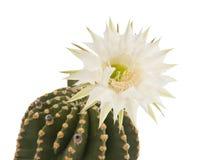 Mooie geïsoleerdew cactusbloem Royalty-vrije Stock Fotografie