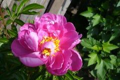 Mooie geblazen pioenknop op een zonnige dag royalty-vrije stock afbeelding