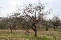 Mooie gebogen Slavische bomen met takken zonder bladeren op het gebied royalty-vrije stock fotografie