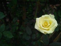 Mooie geel nam bloem in tuin toe Royalty-vrije Stock Foto