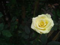 Mooie geel nam bloem in tuin toe Stock Foto