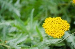 Mooie geel van Achillea-filipendulabloem in een lentetijd bij een botanische tuin Stock Fotografie