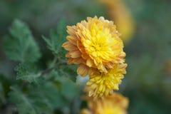 Mooie geeloranje chrysant met een prachtige bokeh in de de herfsttuin Royalty-vrije Stock Fotografie