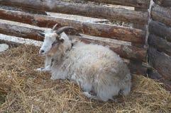 Mooie geit die op een hooiberg door de muur van de pen liggen Stock Foto's