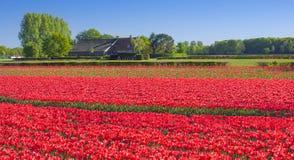 Mooie gekleurde tulpengebieden in Nederland in de lente stock fotografie