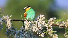 Mooie gekleurde vogelzitting op een tak onder de bloemen van witte acacia stock video