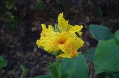 Mooie gele bloem in de tuin royalty-vrije stock afbeeldingen
