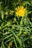 Mooie gele bloem in de tuin natuurlijke achtergrond van groene bladeren van gras Paardebloem Stock Foto's
