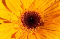 Mooie gele bloem dichte omhooggaand als achtergrond gele gerberabovenkant Royalty-vrije Stock Foto