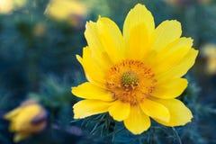 Mooie Gele Bloem Flowerbackground, gardenflowers Nam op de bokehachtergrond toe Horizontale abstracte achtergrond Royalty-vrije Stock Afbeeldingen