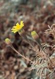 Mooie gele bloem met een knop Royalty-vrije Stock Afbeelding