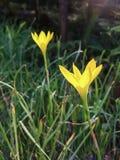 Mooie gele bloemen Stock Afbeelding