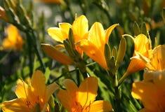 Mooie gele bloemen Royalty-vrije Stock Fotografie
