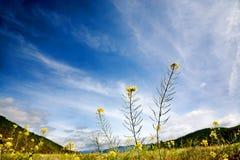Mooie gele bloemen in berg met blauwe hemel Royalty-vrije Stock Afbeelding
