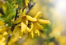 Mooie gele bloemen en zonneflard van lichte dichte omhooggaand stock foto's