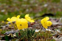Mooie gele bloemen hoog in het meer van Baikal Stock Afbeelding