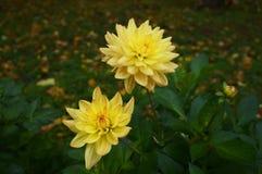 Mooie gele bloemen met regendruppels op bloemblaadjes royalty-vrije stock foto