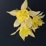 Mooie gele bloemen op een donkere achtergrond Royalty-vrije Stock Foto's