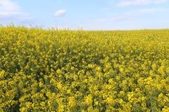 Mooie gele bloemen van grote kleur en groot aroma royalty-vrije stock afbeeldingen