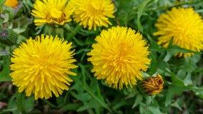 Mooie gele bloemen van het gebied stock afbeeldingen