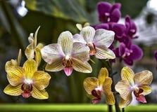 Mooie gele bloemen van Phalaenopsis-orchidee met natuurlijk stock foto's