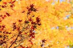 Mooie gele bomen Stock Afbeelding
