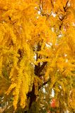 Mooie Gele Boom in Autumn Season in een Park in Florence City Stock Afbeelding